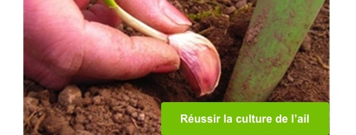 Comment planter l ail - Comment planter l ail ...