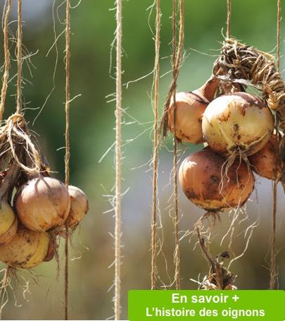 Planter l oignon planter un oignon oignon planter - Quand planter de l ail ...